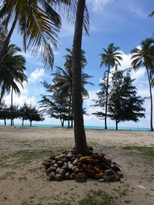 Plenty of Coconuts at the ottom of every tree